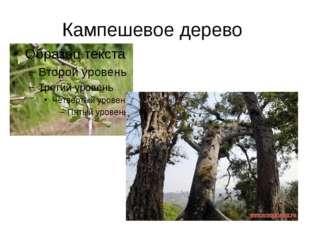 Кампешевое дерево