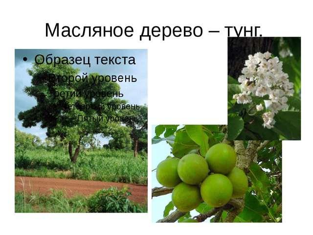 Масляное дерево – тунг.