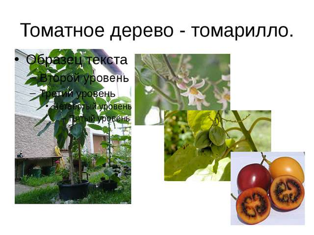Томатное дерево - томарилло.