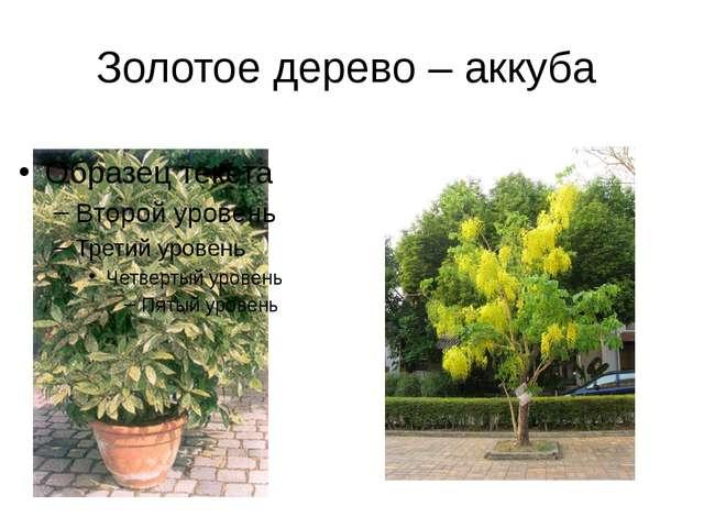 Золотое дерево – аккуба