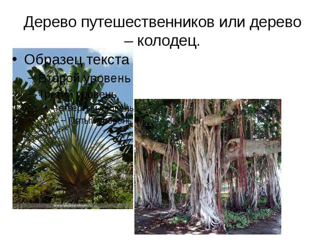 Дерево путешественников или дерево – колодец.
