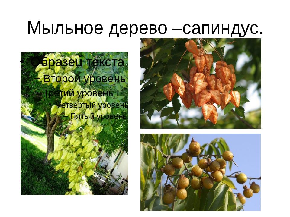 Мыльное дерево –сапиндус.