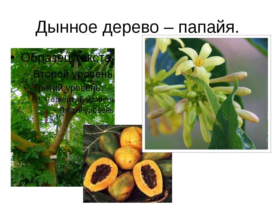 Дынное дерево – папайя.