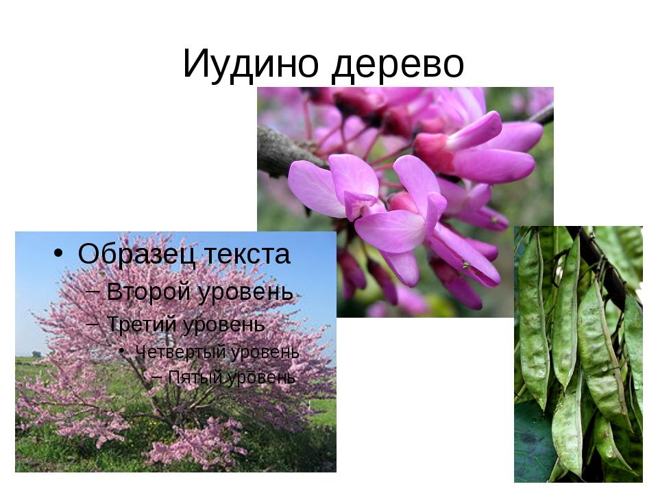 Иудино дерево