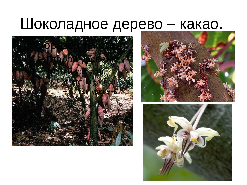 Шоколадное дерево – какао.
