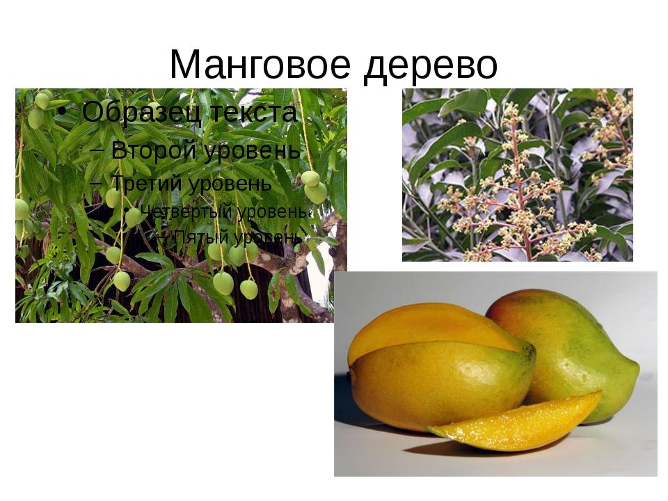 Манговое дерево