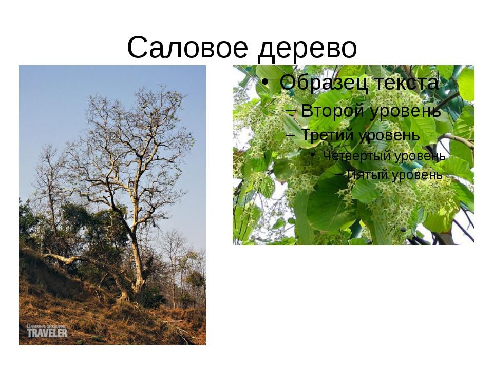 Саловое дерево