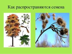 Как распространяются семена