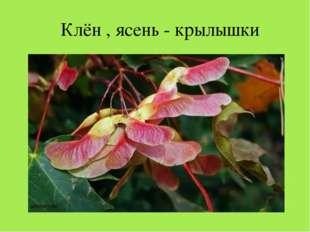 Клён , ясень - крылышки