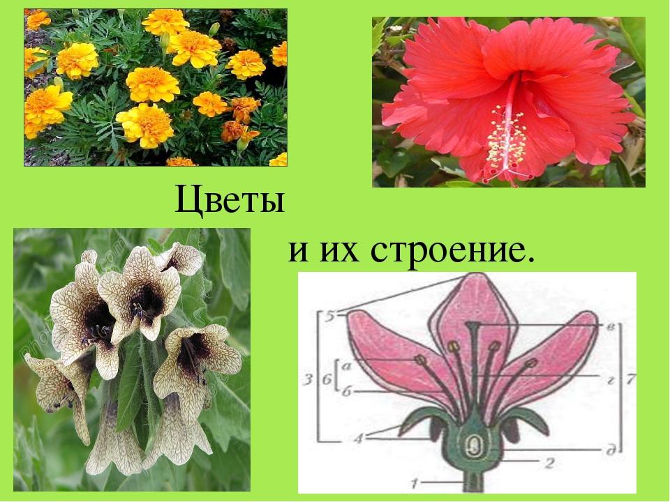 Цветы и их строение.