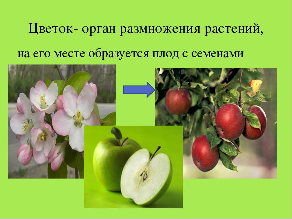 Цветок- орган размножения растений, на его месте образуется плод с семенами