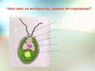 Что это за водоросль, каково её строение?