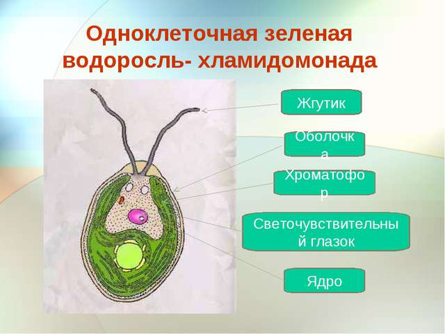Одноклеточная зеленая водоросль- хламидомонада