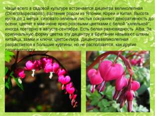 Чаще всего в садовой культуре встречается дицентра великолепная (Dicentraspec