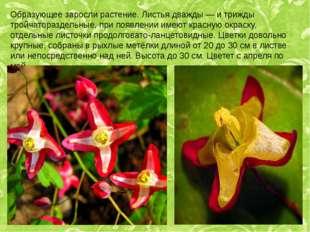 Образующее заросли растение. Листья дважды — и трижды тройчатораздельные, при