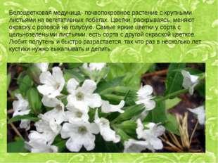 Белоцветковая медуница- почвопокровное растение с крупными листьями на вегета