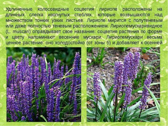 Удлиненные колосовидные соцветия лириопе расположены на длинных слегка изогну...