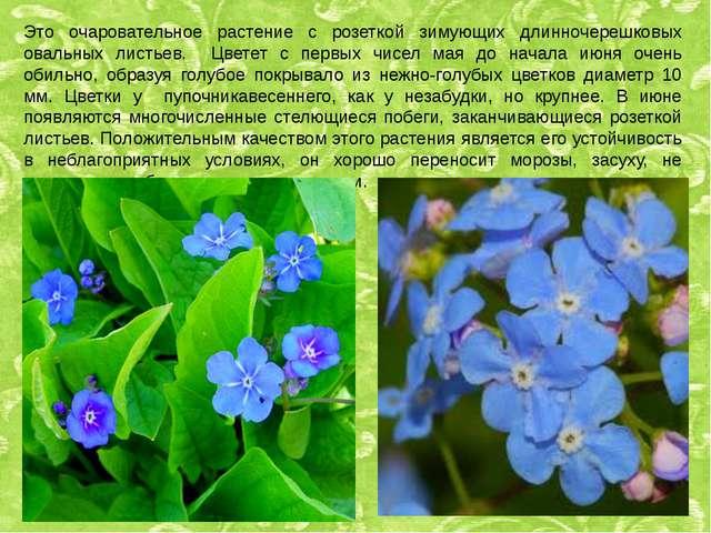 Это очаровательное растение с розеткой зимующих длинночерешковых овальных лис...