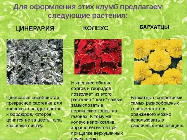 Для оформления этих клумб предлагаем следующие растения: ЦИНЕРАРИЯ Цинерария...