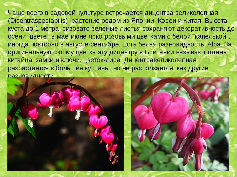 Чаще всего в садовой культуре встречается дицентра великолепная (Dicentraspec...