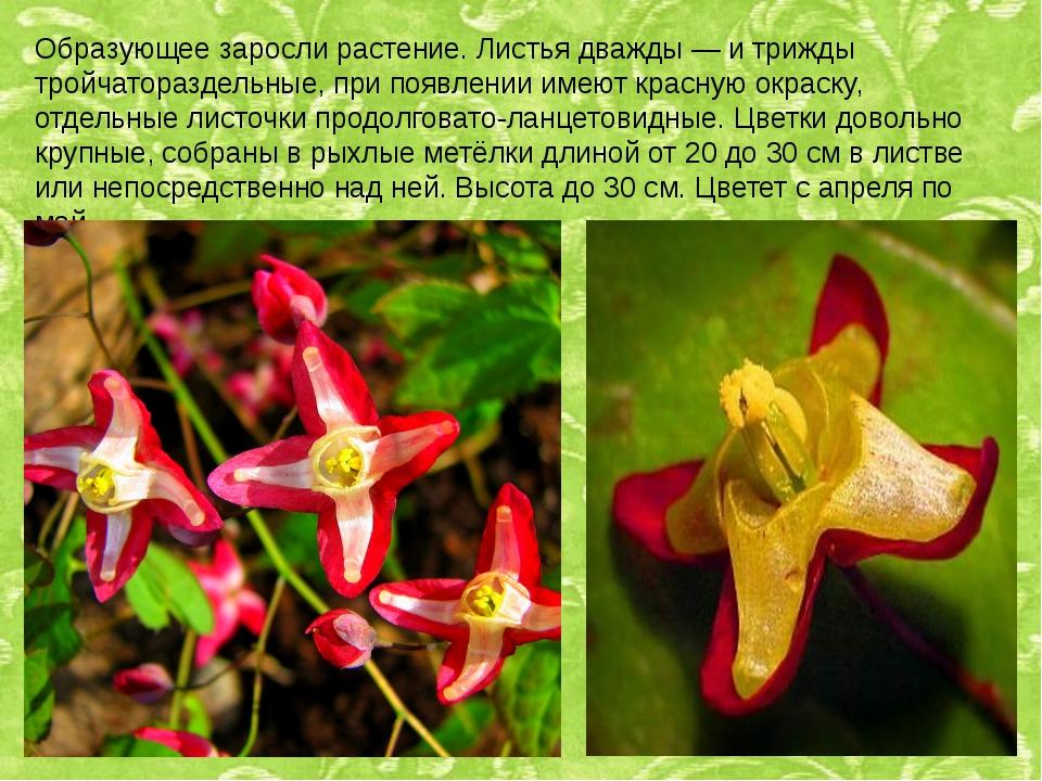 Образующее заросли растение. Листья дважды — и трижды тройчатораздельные, при...