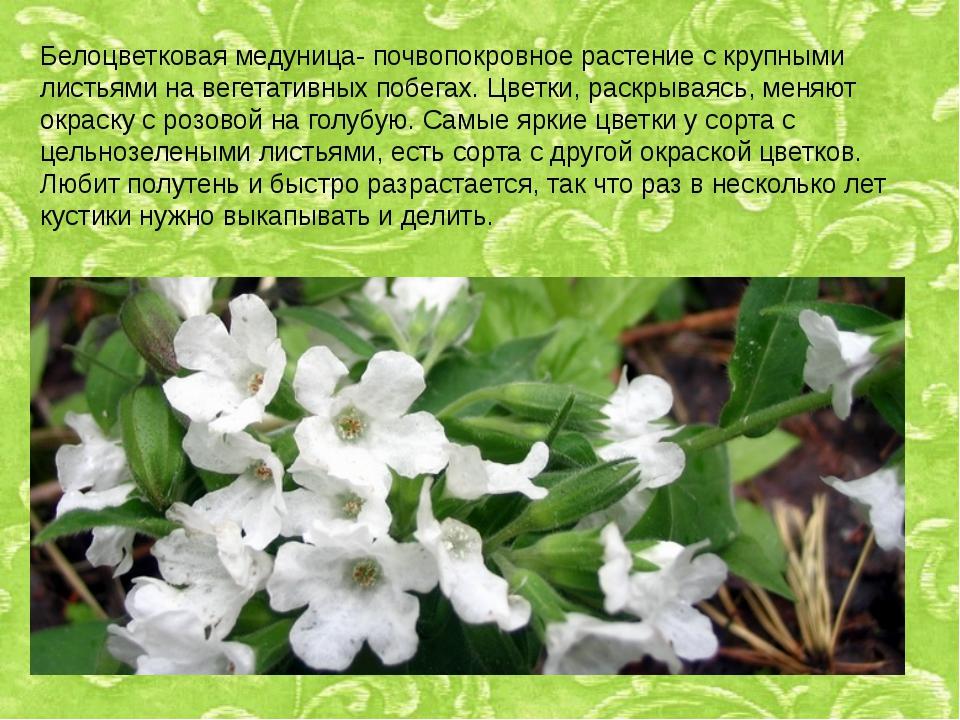 Белоцветковая медуница- почвопокровное растение с крупными листьями на вегета...