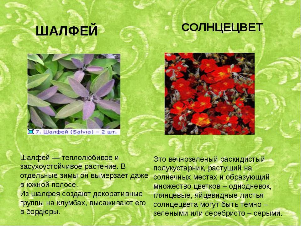 ШАЛФЕЙ Шалфей — теплолюбивое и засухоустойчивое растение. В отдельные зимы он...