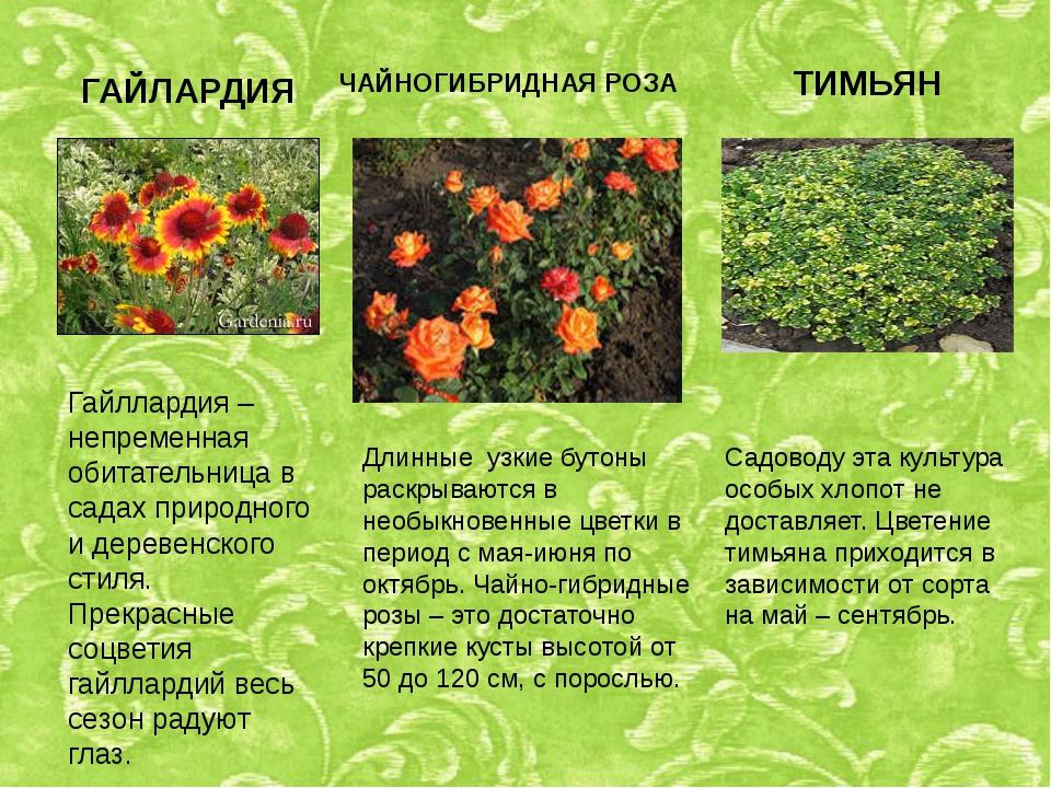 ГАЙЛАРДИЯ Гайллардия – непременная обитательница в садах природного и деревен...