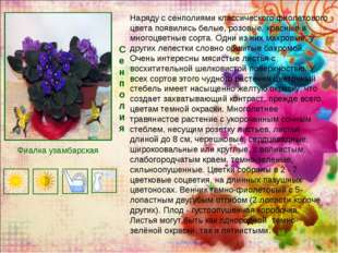 Сенполия Наряду с сенполиями классического фиолетового цвета появились белые,
