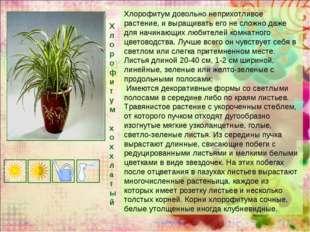 Хлорофитум х о хх л а т ы й Хлорофитум довольно неприхотливое растение, и выр