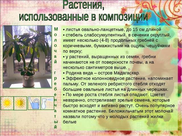 Моло чай г р е б е н ч а т ы й • листья овально-ланцетные, до 15 см длиной •...