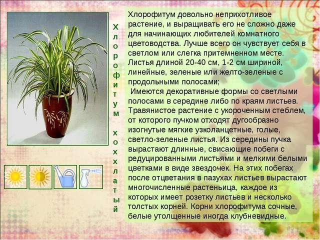 Хлорофитум х о хх л а т ы й Хлорофитум довольно неприхотливое растение, и выр...