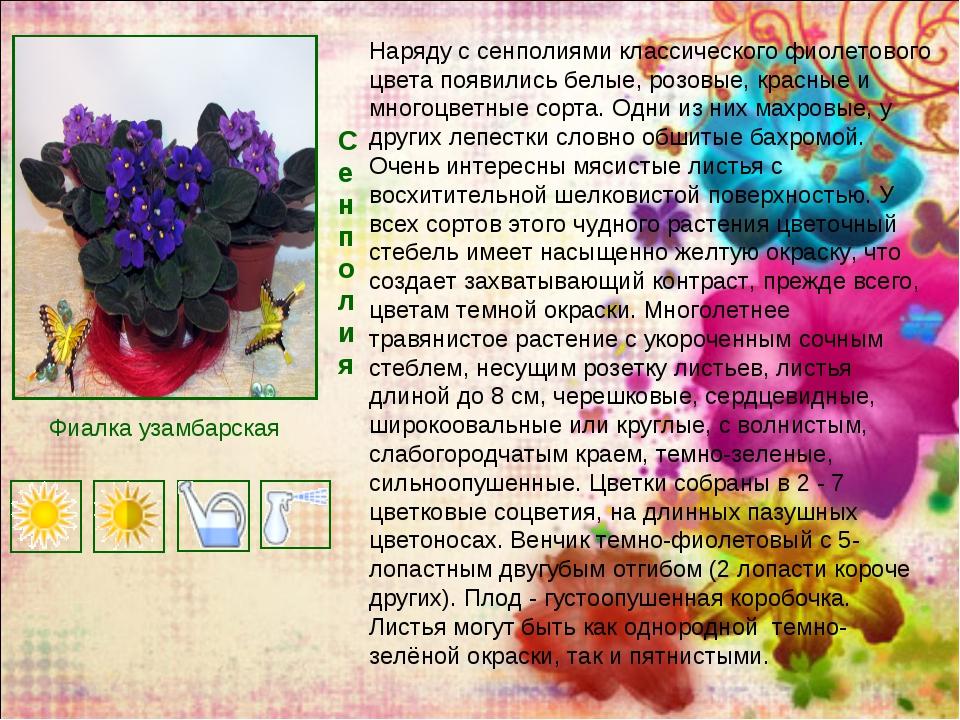 Сенполия Наряду с сенполиями классического фиолетового цвета появились белые,...