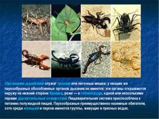 Органами дыхания служат трахеи или легочные мешки; у низших же паукообразных