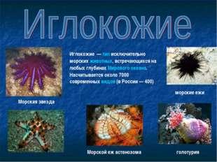 голотурия морские ежи Морская звезда Иглокожие — тип исключительно морских ж