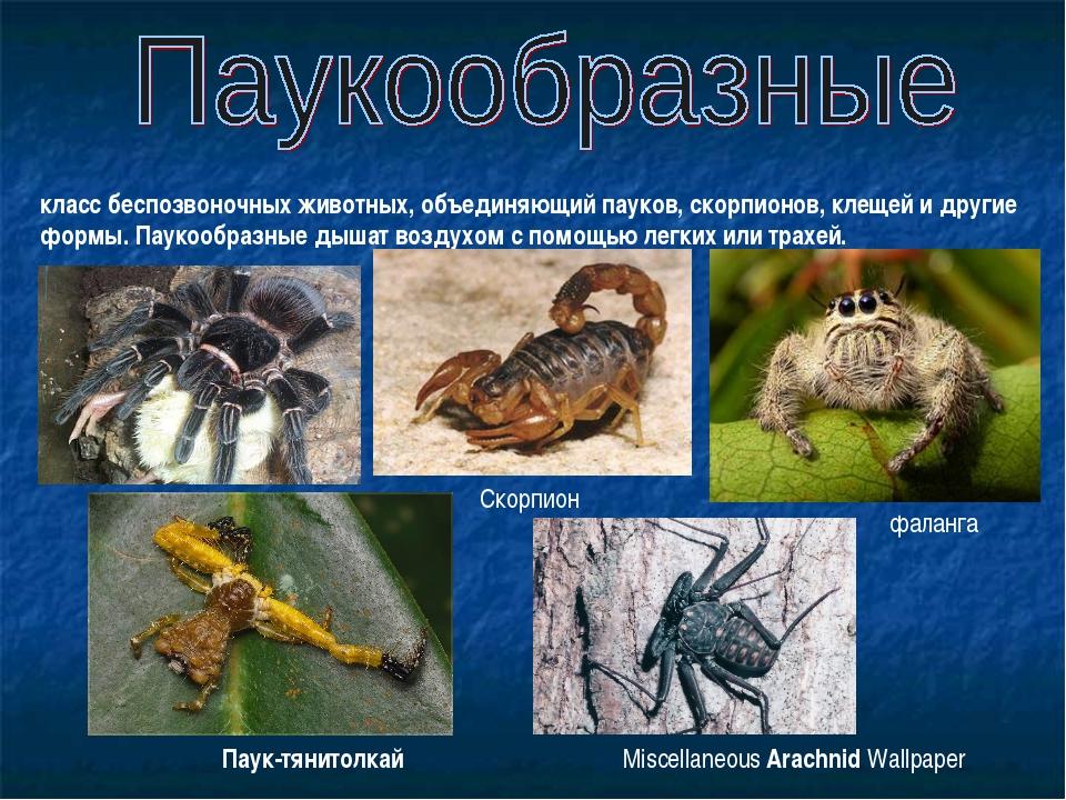 класс беспозвоночных животных, объединяющий пауков, скорпионов, клещей и друг...