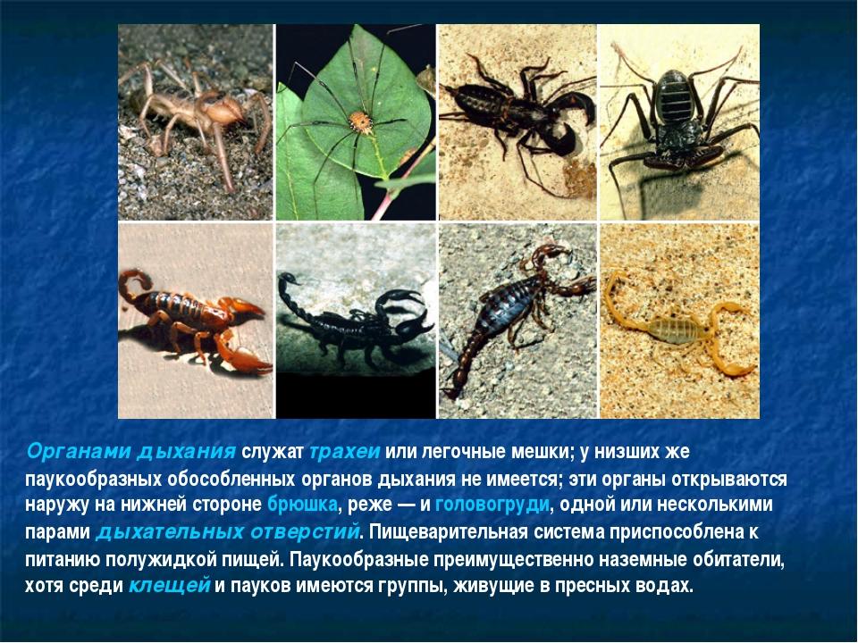 Органами дыхания служат трахеи или легочные мешки; у низших же паукообразных...