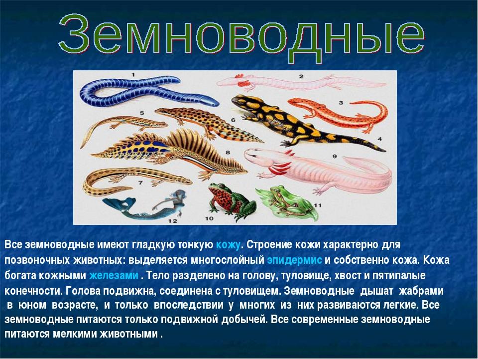 Все земноводные имеют гладкую тонкую кожу. Строение кожи характерно для позво...