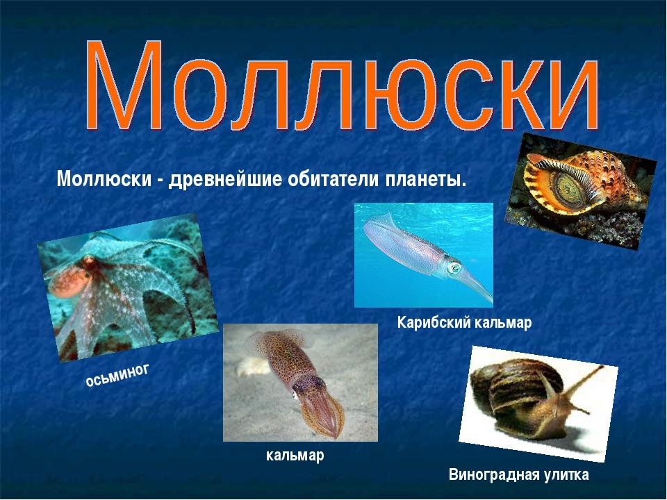 Моллюски - древнейшие обитатели планеты. осьминог кальмар Виноградная улитка...