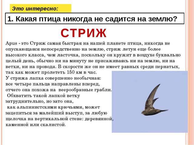 Это интересно: 1. Какая птица никогда не садится на землю? СТРИЖ Apus - это С...